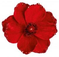 Red Velvet Poppy
