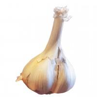 Garlic Elephant 3 Cloves New